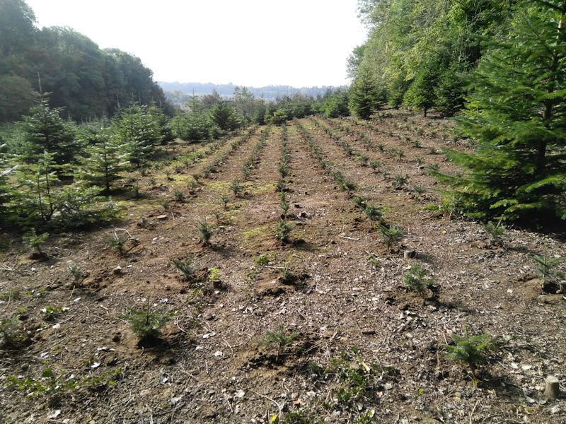 Plantation des sapins 2017